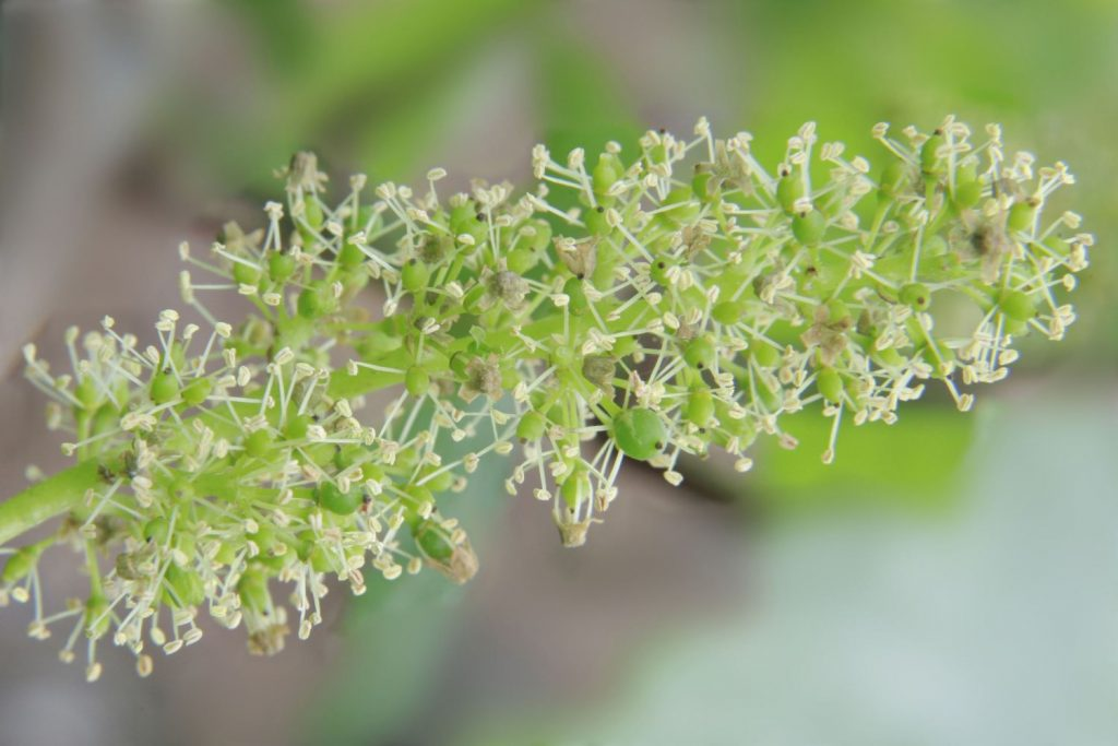 Findabottle_Chardonnay-Floraison