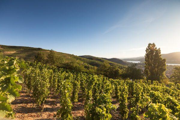 Vignoble de Saint-Joseph