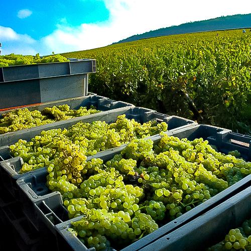 Vendange en Bourgogne