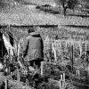 Labour dans les vignes