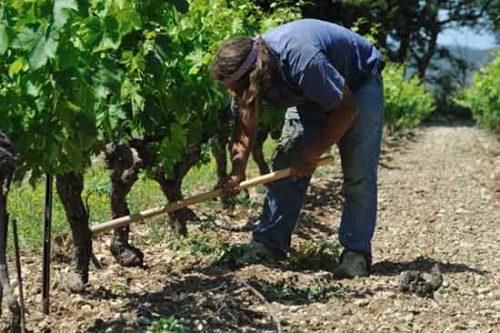 Travail dans la vigne au Domaine de Fonrdrèche