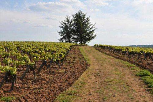 Vignoble du Domaine Pierre Luneau-Papin