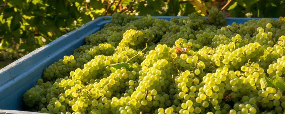 Grappes de Chardonnay après les vendanges