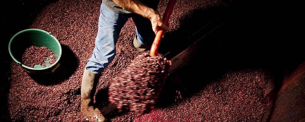 Décuvage de Pinots Noirs
